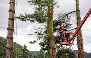 Workers Cutting Tree in Covington - Big Easy Tree Removal